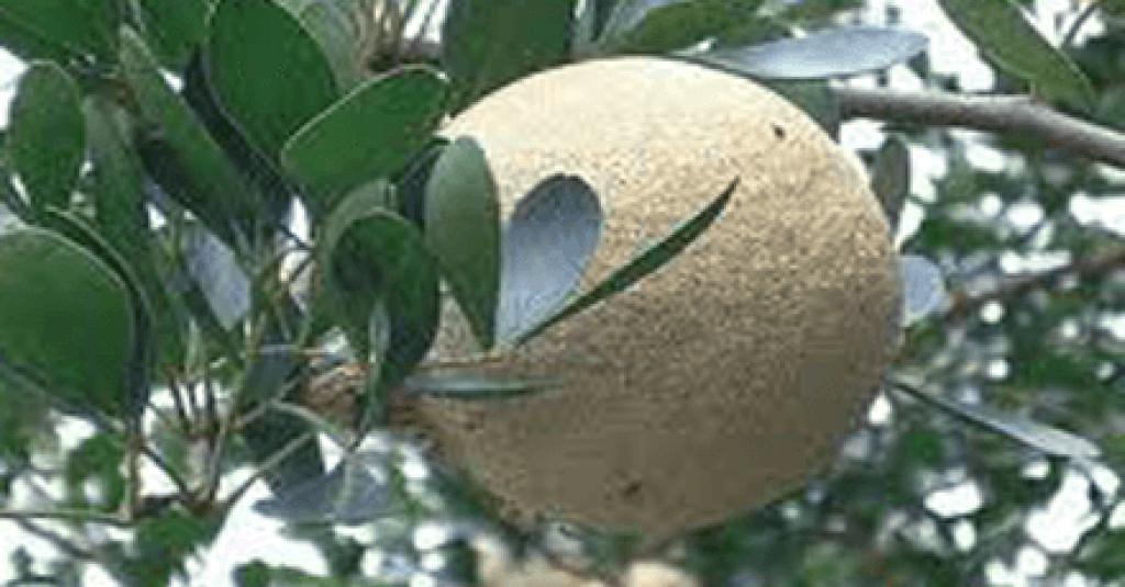 Juicing recipes-Wood apple